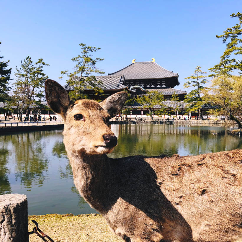 A deer watching over the Todaiji temple in the distance.