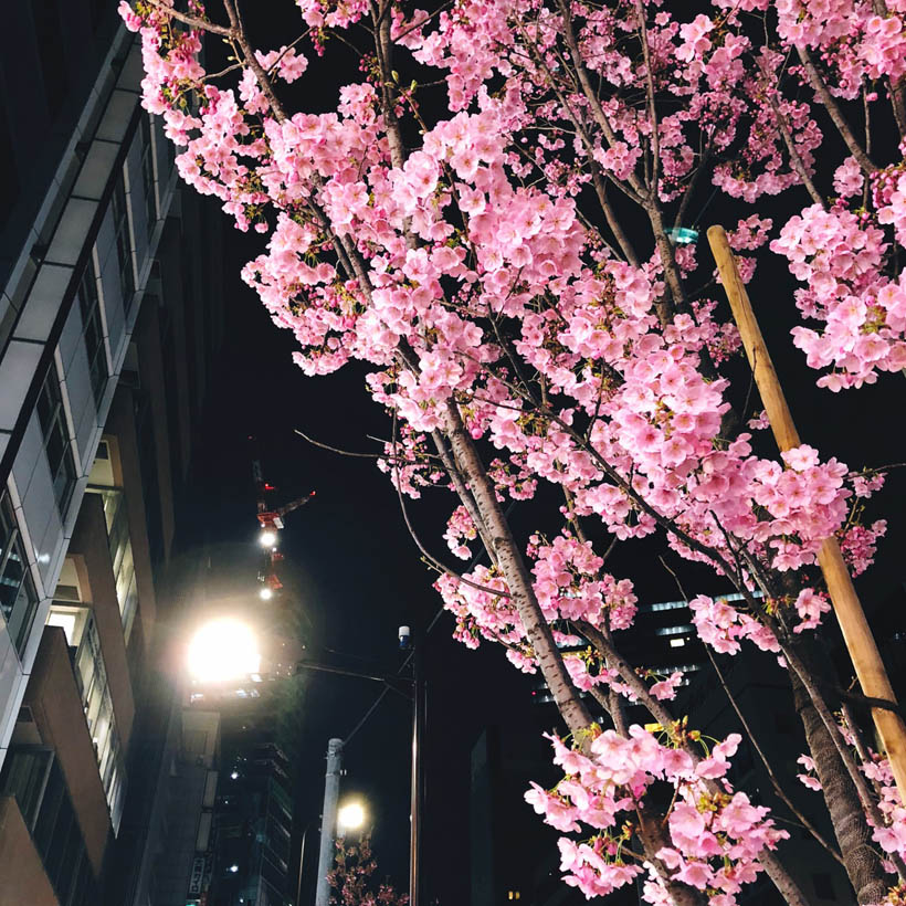 Sakura flowers at the south entrance of Shibuya Station.