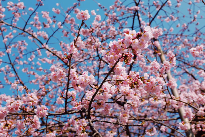 Sakura flowers in Ueno Park.